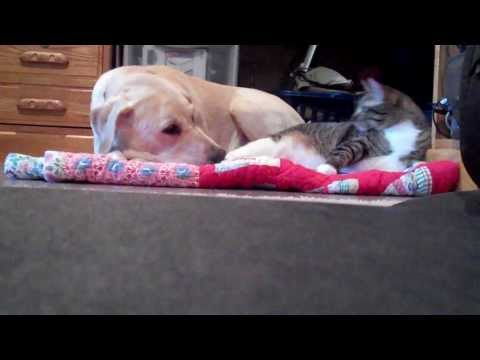 Kitten Snuggles With Puppy Then Teases Her   Dog Chases Cat Away