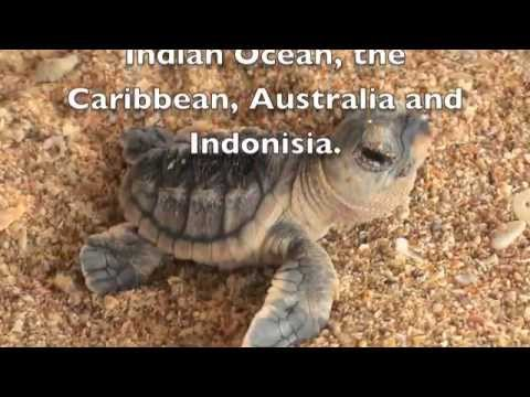 Save the Hawksbill Turtles.