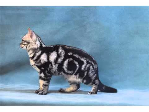 American Shorthair Black And White - Cat Pictures
