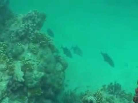 Swimming Blue Fin Trevally - The Raw Files