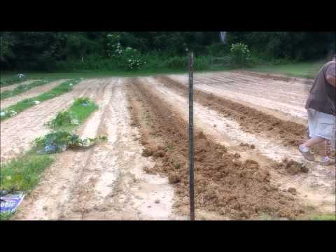 Planting Sweet Potato Slips The Way My Grandma Did It!