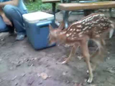 Bell The Fawn