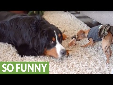 Dog furious he has to share, vocally complains about it