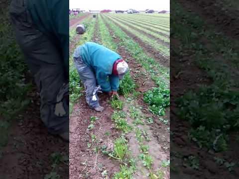 Harvesting parsley