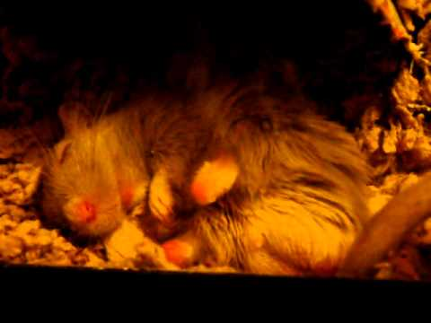 Sleeping gerbil