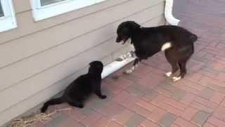 Epic Battle: Farm Dog Chases Farm Cat