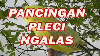 Terapi Pancingan Pleci Ngalas, Pleci Gacor Buka Paruh Download Mp3 Mp4 3GP HD Video