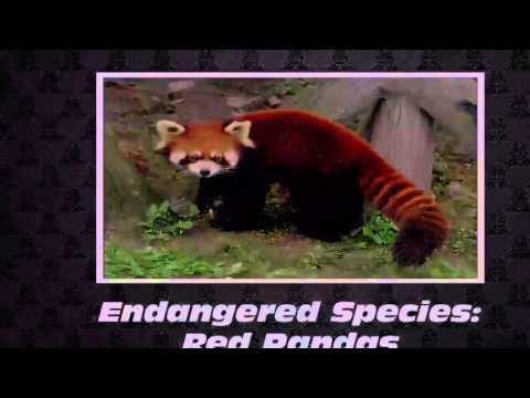 Endangered Species- Red Pandas ~Save Them~