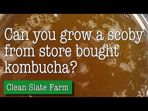 Can you make a scoby from store bought kombucha?