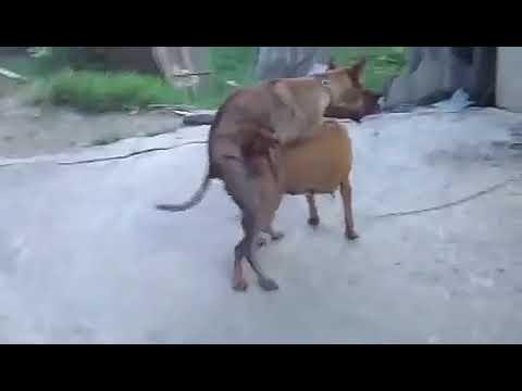 Xxx Mp4 DOG FUCKING HARD Mating 3gp Sex