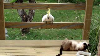 Cockatoo attacks cat