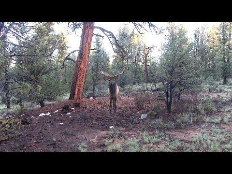 Big Busted Bull Elk Screaming in to 6 Steps;