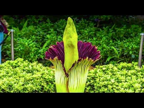 Corpse Flower Timelapse Video: Chicago Botanic Garden