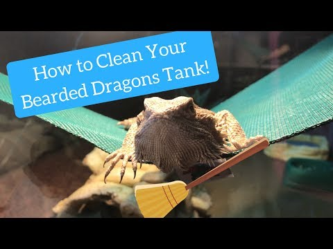 How I Clean My Bearded Dragons Tank!