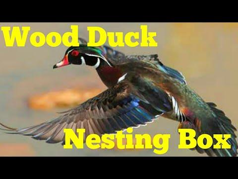 Installing A Wood duck nesting box.