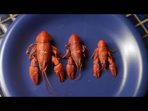 Crayfish: Can You Catch And Eat Your Dinner From The Canal? Tasting The Towpath