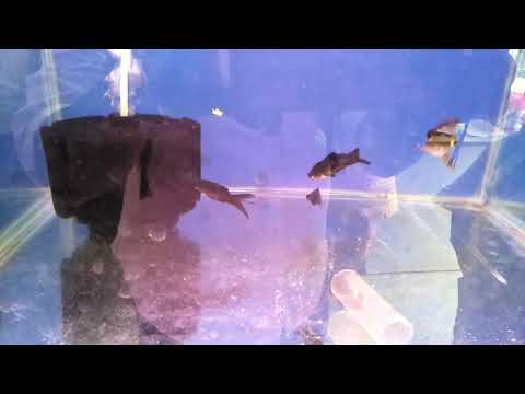 Black gold fish