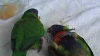 Tame Rainbow Chicks Having Fun