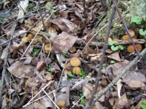 Morel Mushroom Habitat - Where To Find Morels