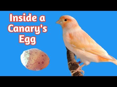 Inside a Canary's Egg | Egg Candling