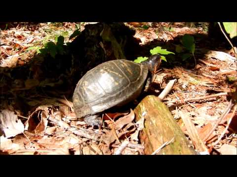 FINDING 3 BOX TURTLES IN THE POCONOS