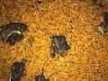Goat Meat Jollof Rice | Aponkye Jollof Rice