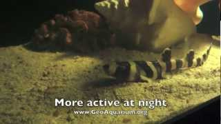 A Shark Story - Birth Of A Banded Bamboo Shark From An Egg Case - GeoAquarium