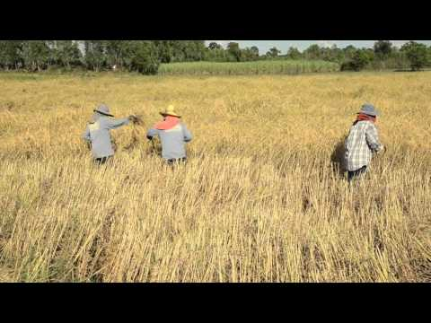 Rice Harvest By hand