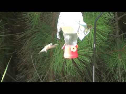 Hummingbird Returns in 2016