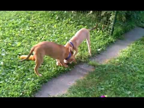Labrador/German Shepherd mix puppies playing