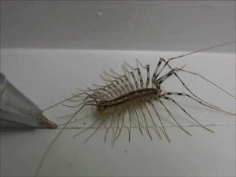 Centipede grooming closeup video