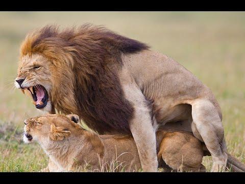 Xxx Mp4 Wild Animals Mating 2015 ♥♥♥ Lion Mating Compilation 2015 HD ✤✓ 3gp Sex