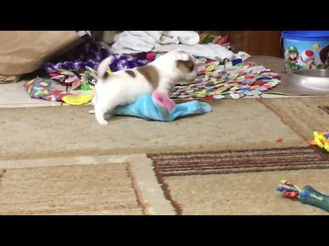 CUTE PUPPY PLAYING OMG.... 30 seconds of the cutest thing you will see today
