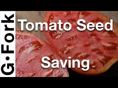 How To Save Tomato Seeds - GardenFork