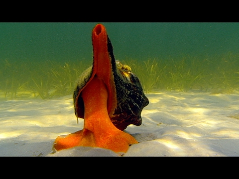 Giant Horse Conch & Burglar Hermit Crabs   Blue Planet   BBC Earth