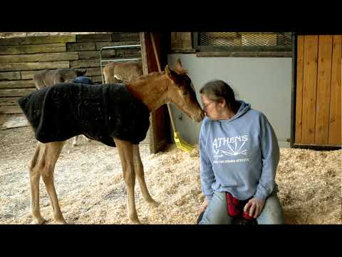 Foal Rejection & Nursing Chute Discussed - Tips For Getting Foals On Aggressive or Surrogate Mares