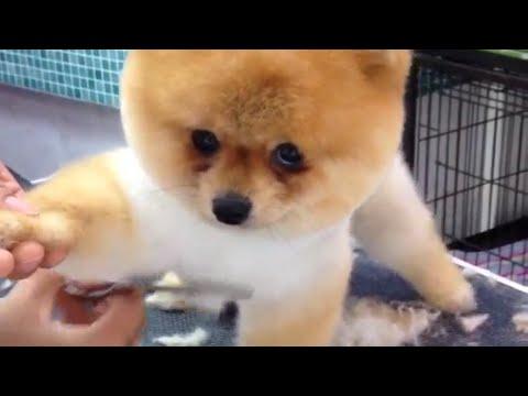 Pomeranian Gets a Haircut