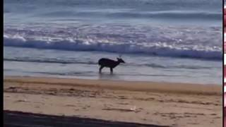 A buck goes for a swim in Ortley Beach