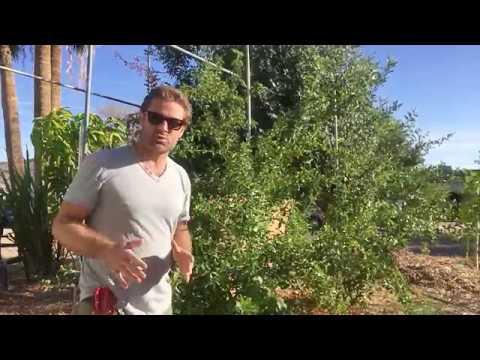 Ep145 - Trim Acerola Cherry aka Barbados cherry for Spring Growth!