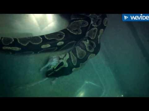 Feeding ball python a frozen Mouse