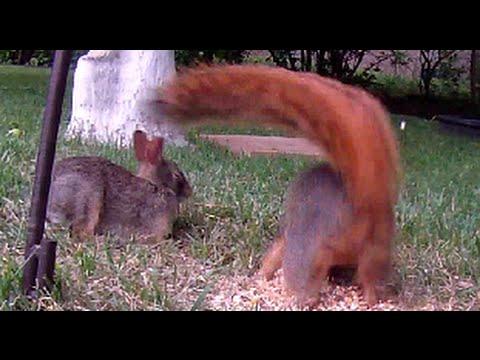 Fox Squirrel Jumps off Feeder onto Rabbit and Chipmunk