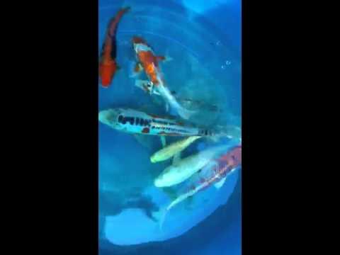 New koi fish!