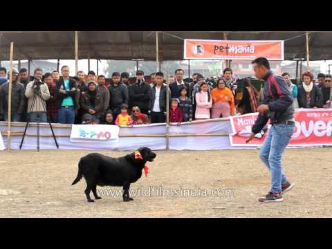 Winning Lab at Dog show in Manipur, India