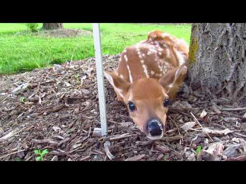 Fawn Day 2 Humber Arboretum Needs Nourishment Called Animal Services