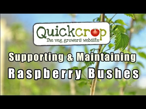 Supporting and Maintaining Raspberry Bushes
