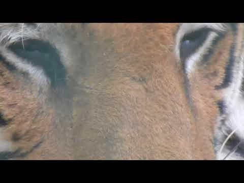 male tiger closeup video