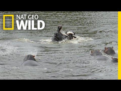 Lucky Wildebeest 'Cheats' Death In Dramatic Video | Nat Geo Wild