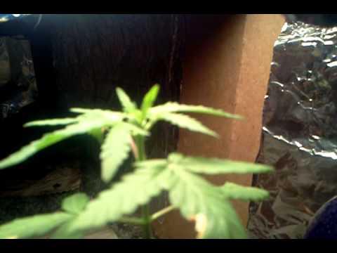 A plant How marijuana to sex