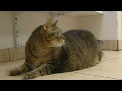 Obese Cat Tiny Tim Loses Weight on Strict Diet