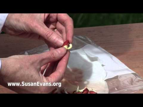 Growing a Bean Seed